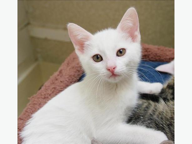Juanita - Domestic Short Hair Kitten