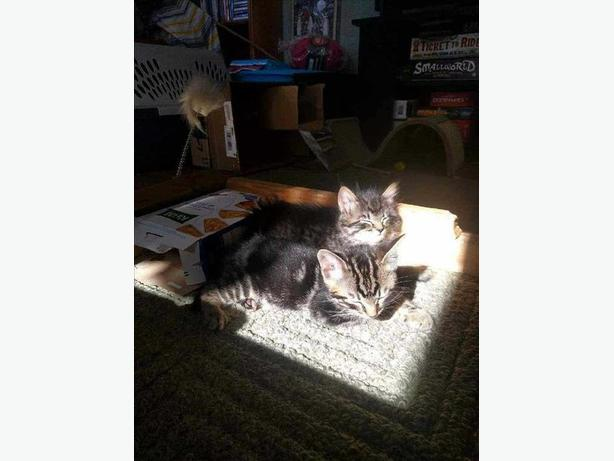 Bran - Domestic Short Hair Kitten