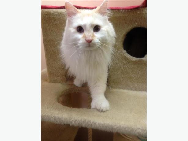 Luka - Domestic Longhair Cat