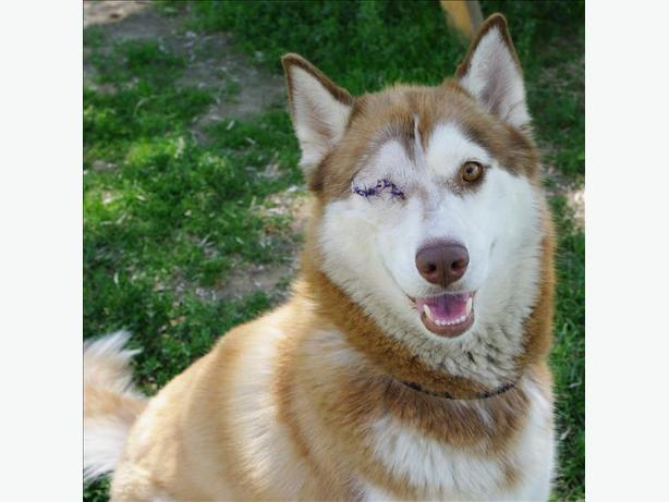 Maple - Siberian Husky Dog