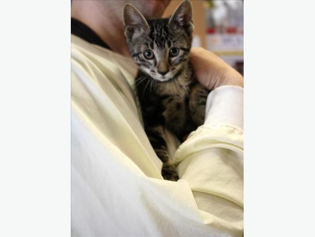 Tiger - Domestic Short Hair Kitten