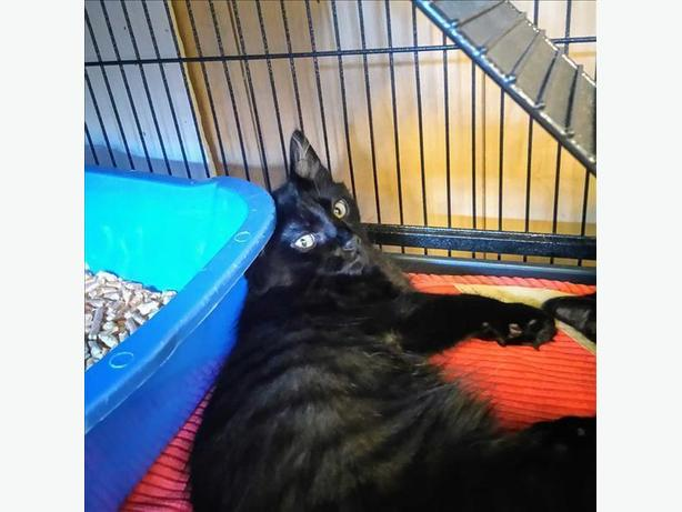 Ace - Domestic Medium Hair Kitten