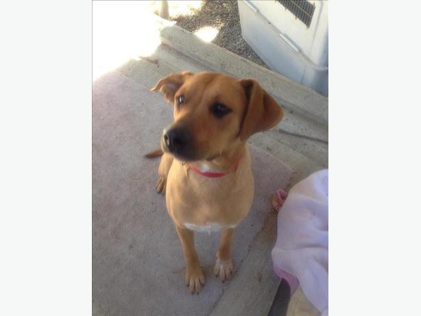 Joey - Mastiff Dog