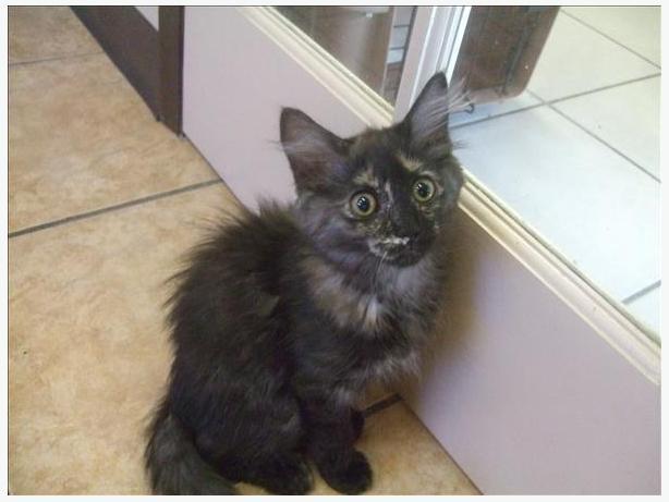 Primrose - Domestic Medium Hair Kitten