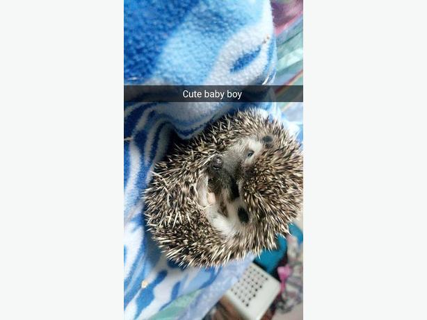 Hedgehog for salee
