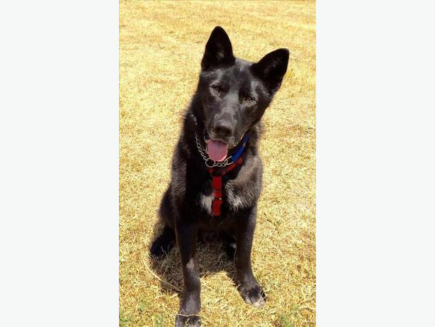 Hercules - Alaskan Malamute Dog