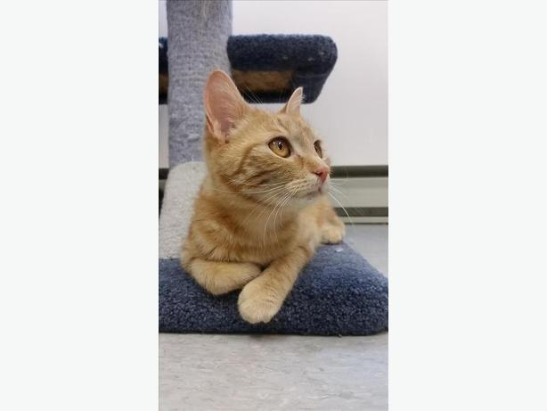 Girlie - Domestic Short Hair Cat