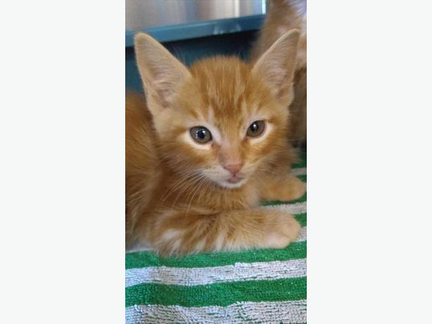 Nacho - Domestic Short Hair Kitten