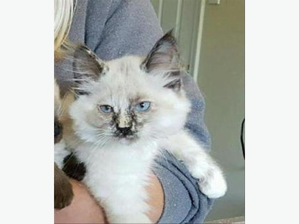 Smudge - Siamese Kitten