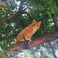 Orange tabby cat lost! Reward!