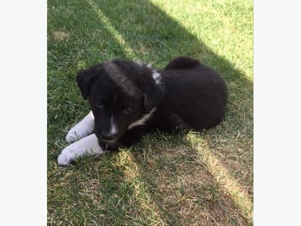 Sylvester - Border Collie Puppy