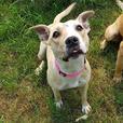 Cher - Pit Bull Terrier Dog