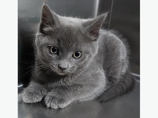 Quick Silver- - Domestic Short Hair Kitten