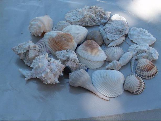 sea shells ,