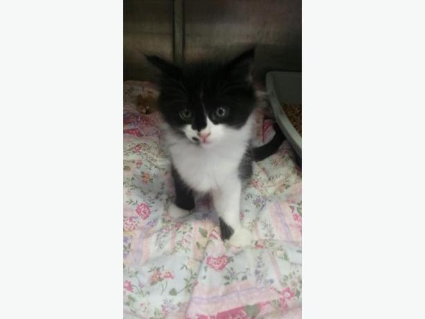 Sophia - Domestic Short Hair Kitten