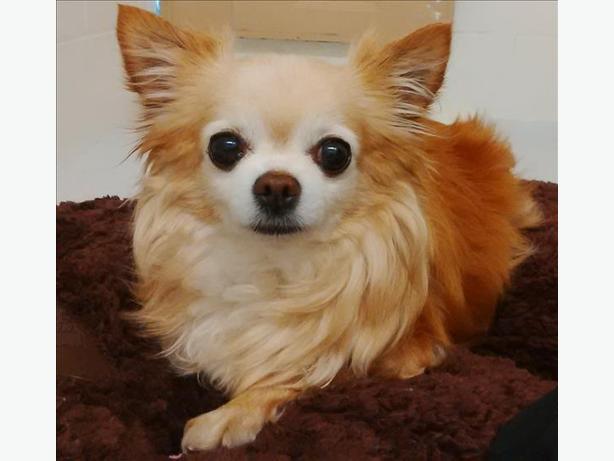 Bambi - Chihuahua Dog
