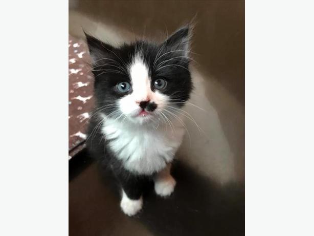 Kane - Domestic Short Hair Kitten
