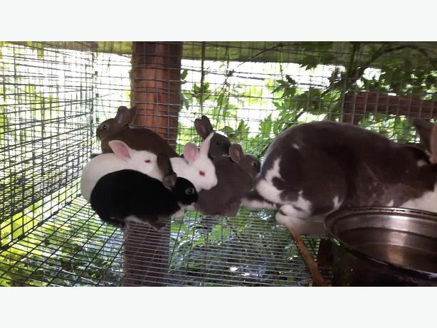 Purebred Rex Rabbits
