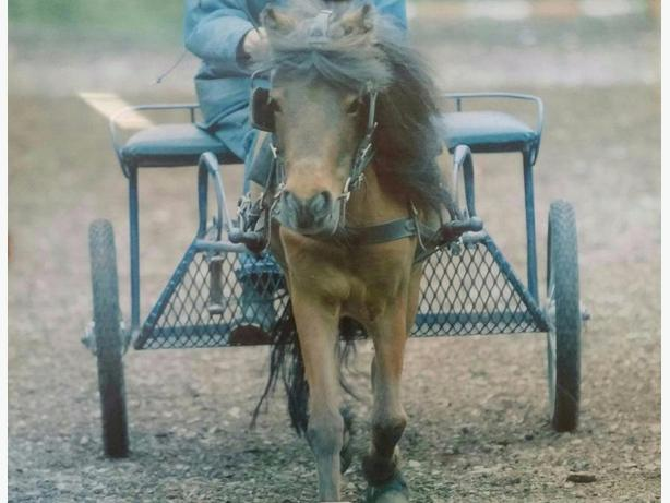 working and driving with miniature horses