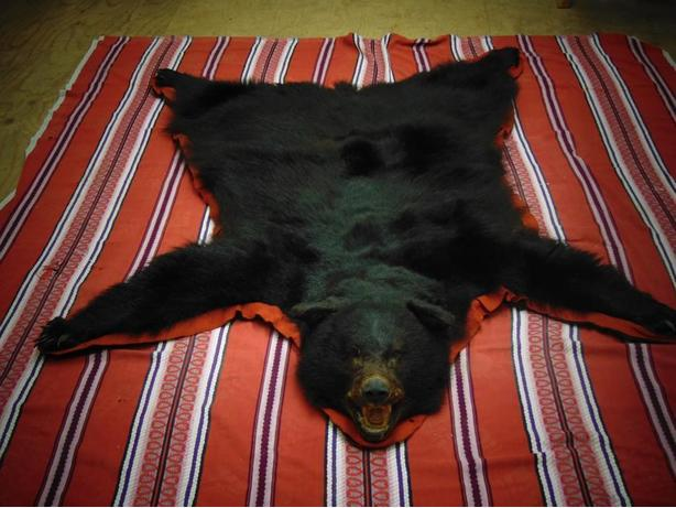 Taxidermy  Black Bear with head mount