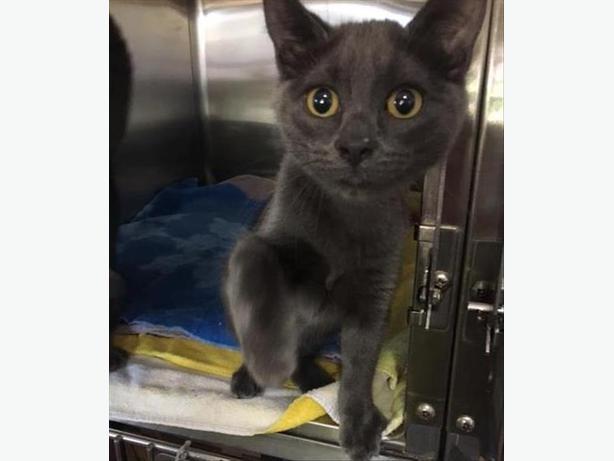 Aspen - Domestic Short Hair Kitten