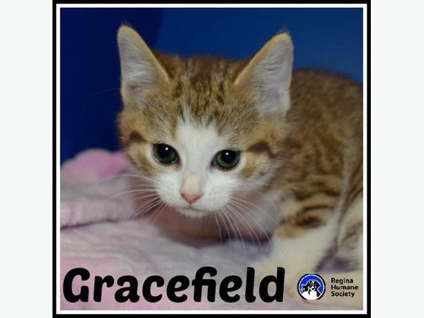 Gracefield* - Domestic Short Hair Kitten