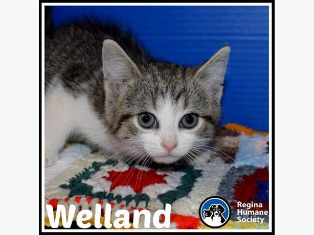 Welland* - Domestic Short Hair Kitten