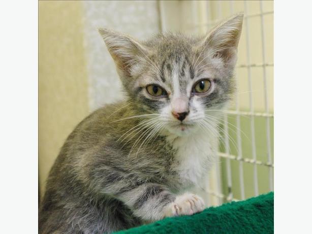 Devon-Pending Adoption - Domestic Short Hair Kitten