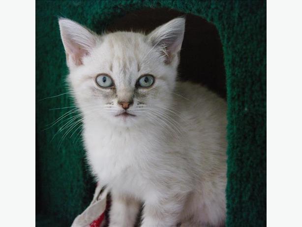 Riley-Pending Adoption - Domestic Short Hair Kitten