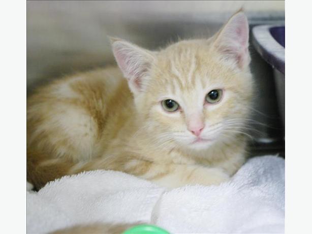 Marmalade - Domestic Short Hair Kitten