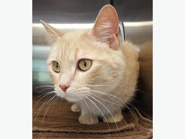 Mushi - Domestic Short Hair Cat