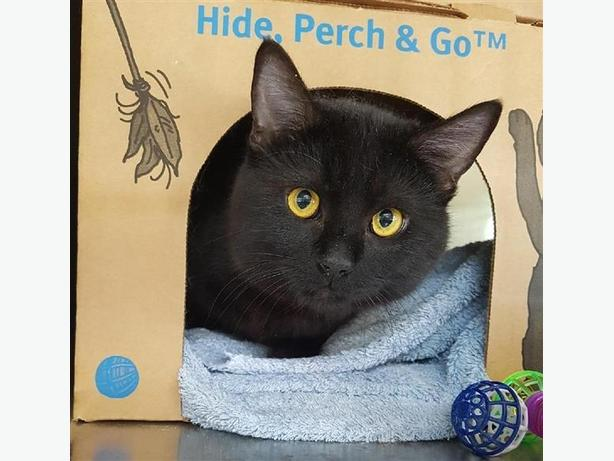 Chuck - Domestic Short Hair Cat