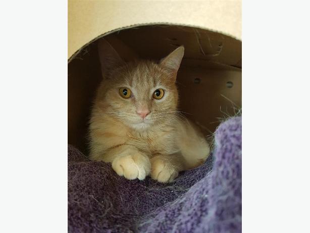 Nash - Domestic Short Hair Cat