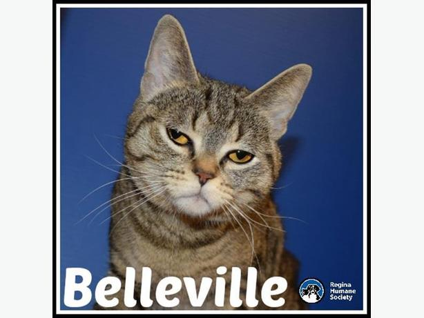 Belleville* - Domestic Short Hair Cat