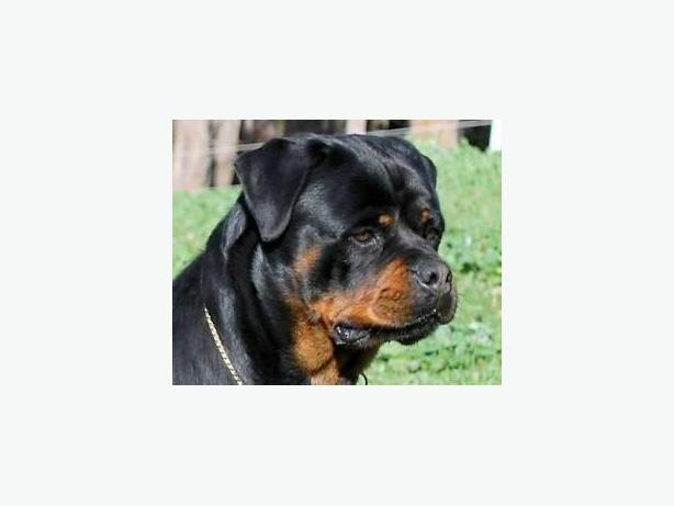 WANTED: Looking to trade Rottie