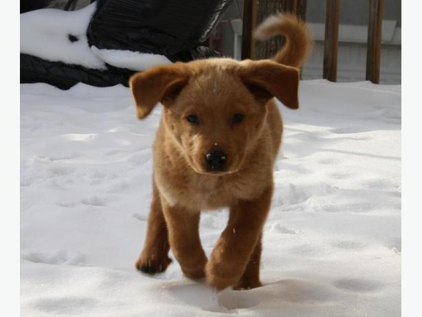Golden Retriever great dog to awesome home only ASAP..
