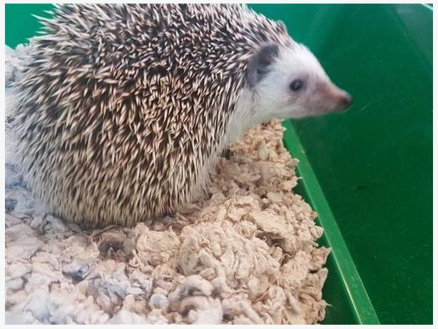 Mr Snuggles - Hedgehog Small Animal - Exotic