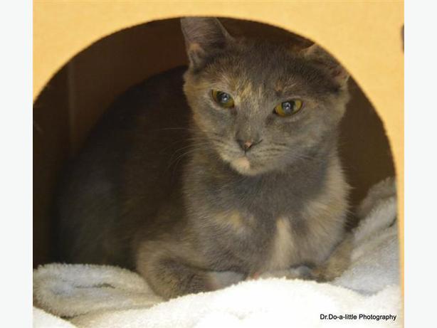 Tutti - Domestic Short Hair Cat