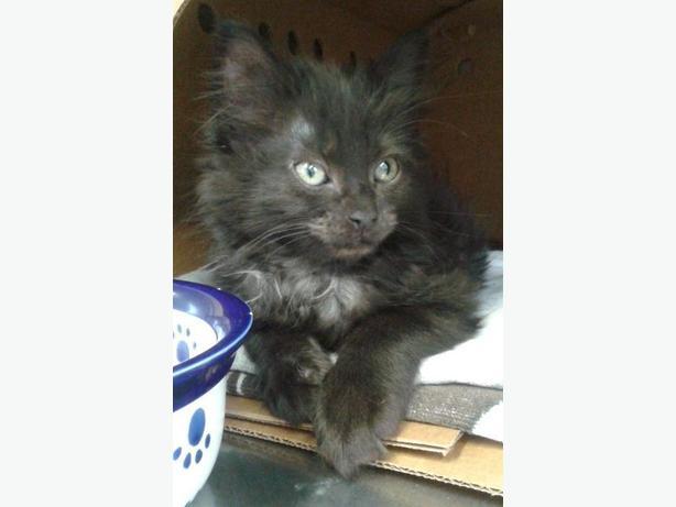Floof - Domestic Medium Hair Kitten
