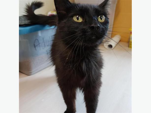 Danielle - Domestic Medium Hair Cat