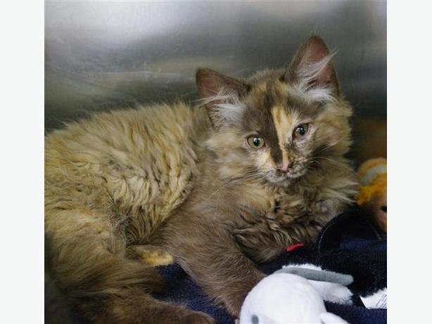 Smores - Domestic Medium Hair Kitten