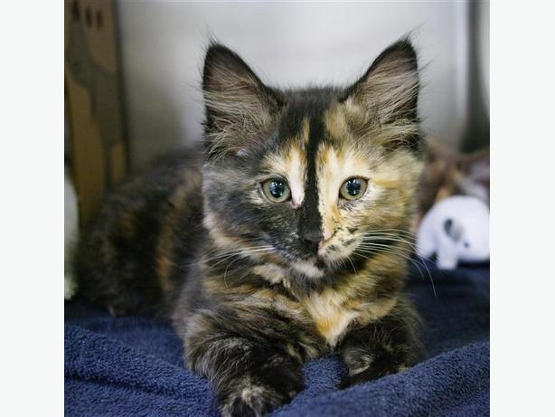 Picante - Domestic Medium Hair Kitten