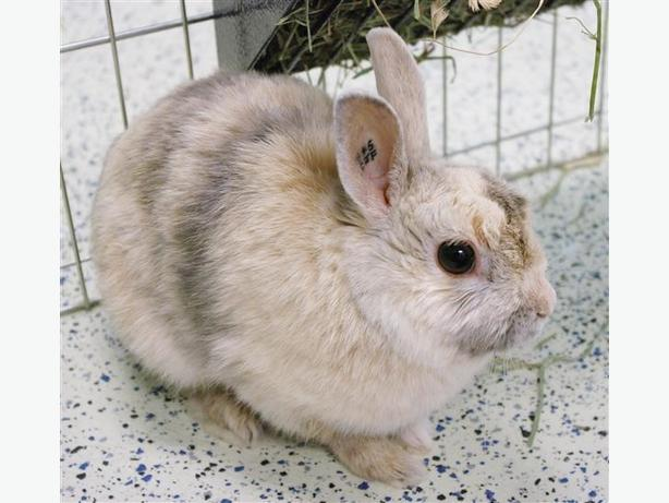 Jill - Dwarf Rabbit
