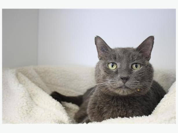 Aerie - Domestic Short Hair Cat