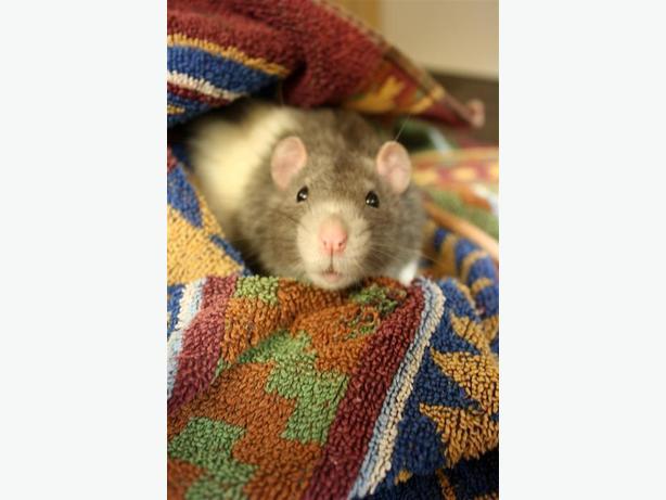 Asher - Rat Small Animal