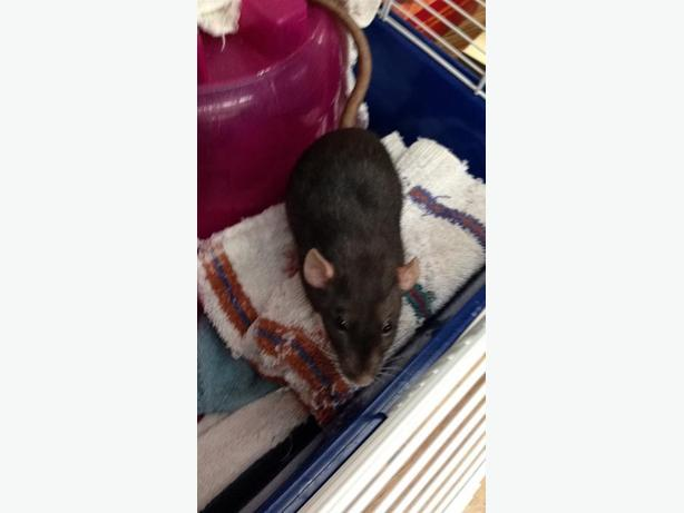 Margarett - Rat Small Animal