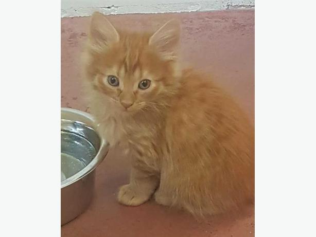 Konner - Domestic Longhair Kitten