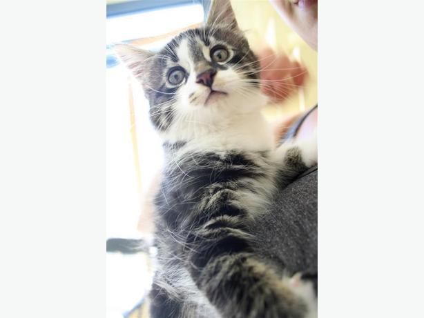 Carl - Domestic Longhair Kitten