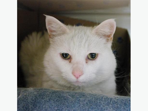 Snowball - Domestic Medium Hair Cat