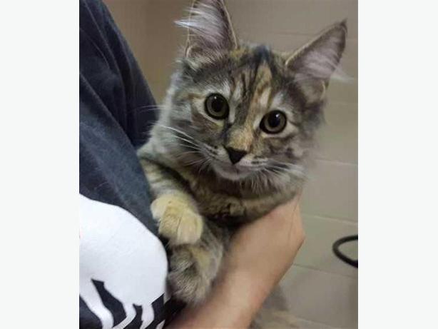 Smoothie - Domestic Medium Hair Kitten